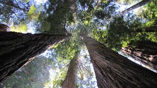 Besuch bei den Redwoods